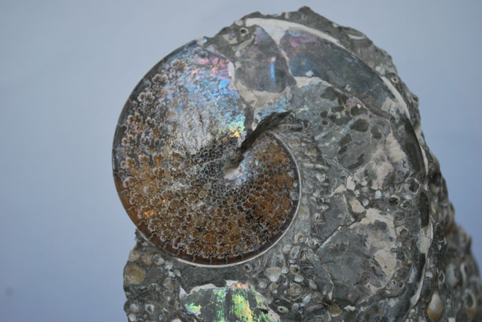 Amazing ammonite Sphenodiscus lenticularis - Matrix 110 x 80 x 45 mm - Ammonite 75 x 65 mm