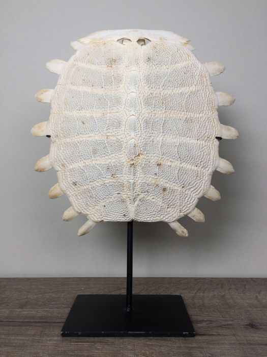 Chinese Softshell Turtle carapace skeleton, with stand - Pelodiscus sinensis - 29 x 23 cm