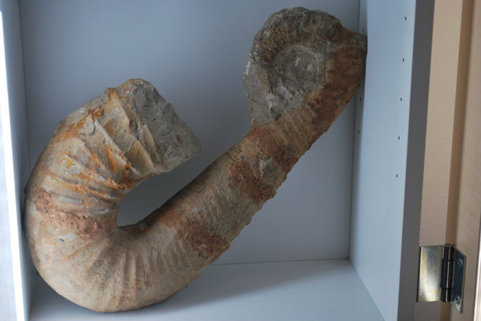 A decorative composite heteromorph ammonite - 340 x 190 x 70 mm