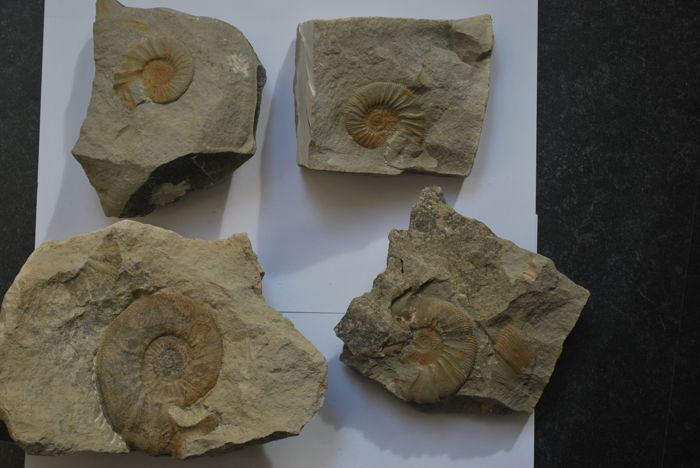 Four ammonites with lappets - 50–95 mm
