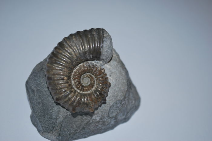 A heteromorph ammonite. Australiceras jackii - Matrix 60 x 55 x 45 mm - Ammonite 40 x 31 x 15 mm