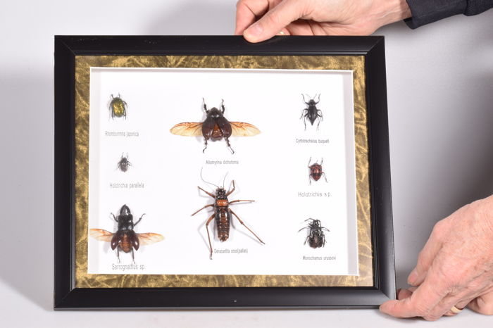 Insect collection - 33 x 28 x 3 cm