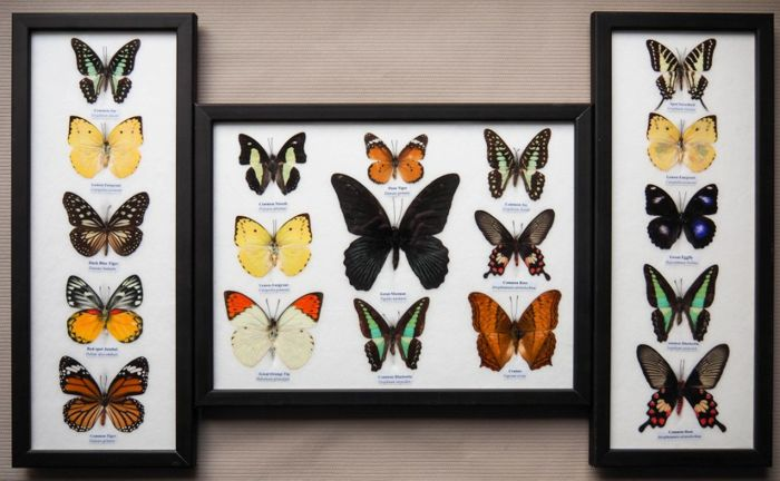 Collection of prepared Asian Butterflies - named different species - 38 x 15cm and 32 x 25cm (3)