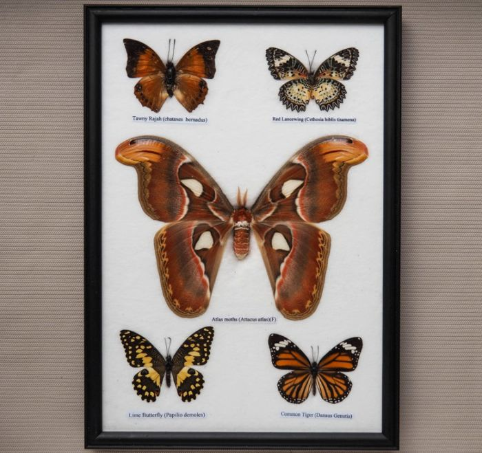 Collection of prepared Asian Butterflies - named different species - 35 x 25cm