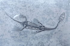 Swimming reptile - Keichousaurus hui - 11.1 cm (13.5 cm in stretched position)