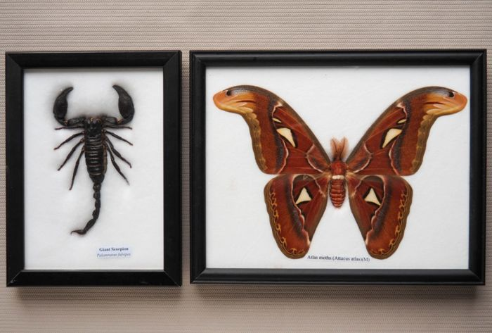 Giant Scorpion Palamnaeus fulvipus 13 cm - large Atlas moth Attacus Atlas (m) 21 cm