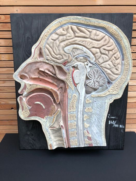 Large anatomical model of the head