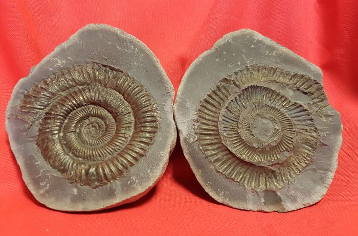 Nice Dactylioceras ammonite on complete concretion - 114 x 100 mm - 900 g