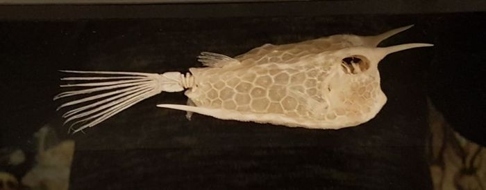 Interesting Longhorn Cowfish skeleton in Victorian-styled Case - Lactoria cornuta, 23 x 9 x 7cm