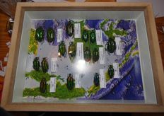Indonesian Jewel Beetle varieties in glazed frame - Buprestidae sp. - 24 x 18cm