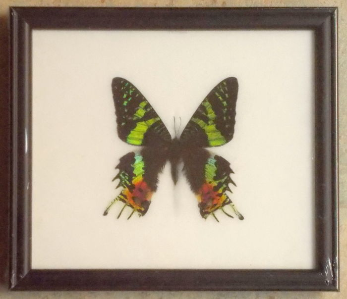 Madagascan Sunset Moth in a black wooden frame – 20 x 17,5 cm.
