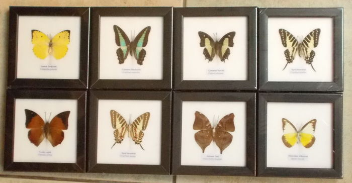 Exotic Butterflies - named species - 12 x 12cm  (8)