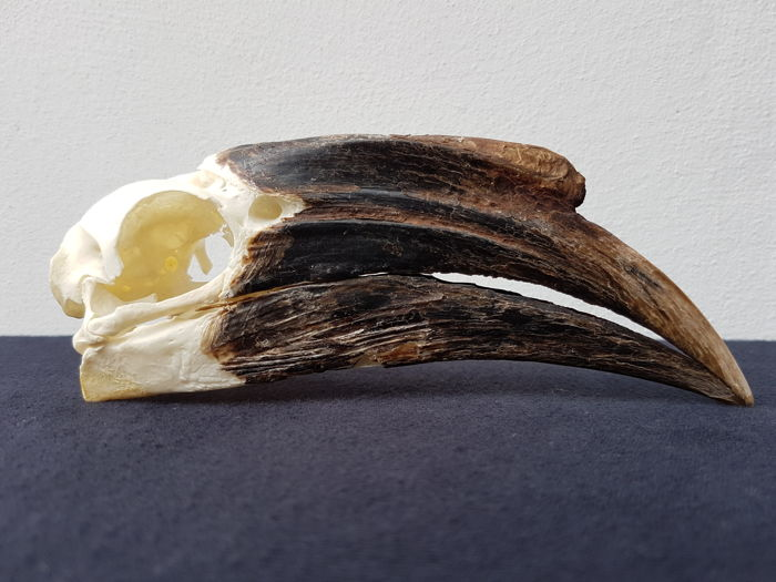 Fine condition, female Black-casqued Hornbill skull - Ceratogymna atrata - 18cm