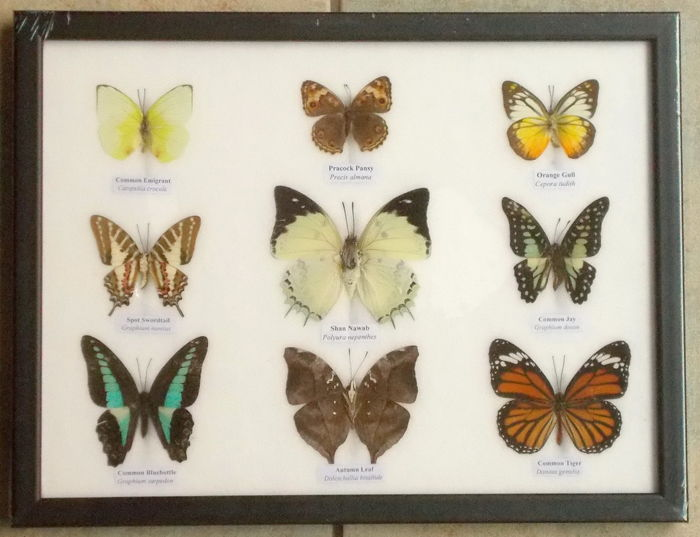 Nine colorful butterflies in a wooden frame – 32 cm by 25 cm.