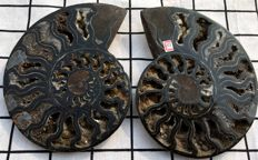 Natural Madagascar black cut and polished ammonite - Aioloceras sp. 170 x 135 x 37 mm - 950 g
