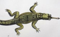 George Shaw (1751-1813) - 2 x engravings - Indian Crocodiles - 1801