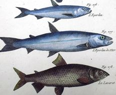 Pierre J. Bonnaterre (1752-1804) 2 x engravings - Fish, Ombre, Able, Eperlan - 1790