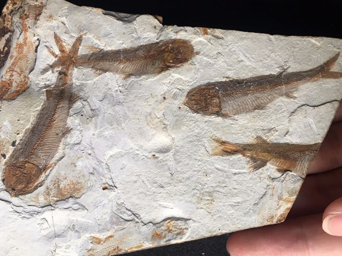 Fish fossil - Lycoptera sp. - 16 x 9.5 x 0.8 cm