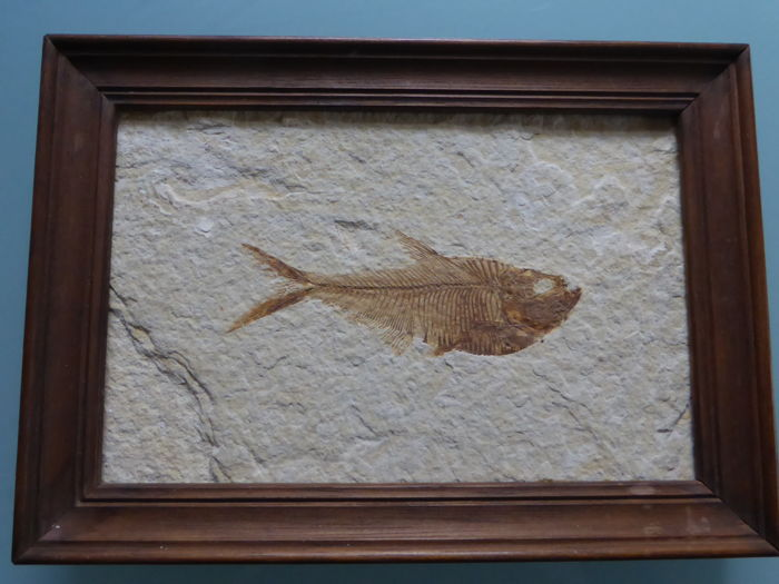 Very nice decorative fossil freshwater fish Diplomystus - 220 x 150 mm