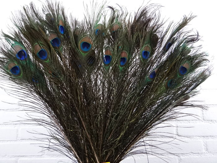 Indian Blue Peafowl - tail feathers - Pavo cristatus - 50 to 60 cm - 100