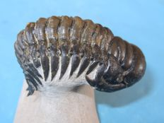 Beautiful Trilobite with freely prepared Hypostome and Pygidial stings - Crotalocephalus gibbus - 80 x 30 mm
