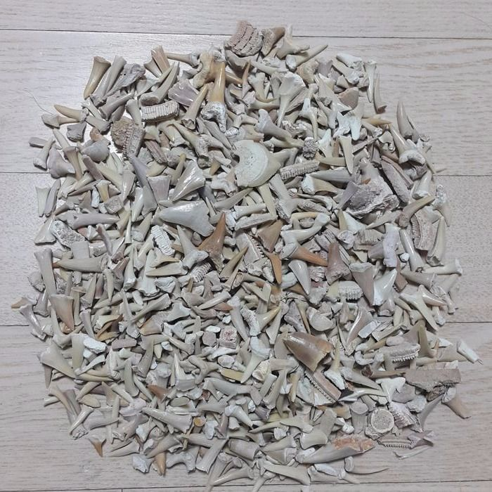 Lot of fossil shark teeth from different species - 0.5–4 cm (1000)