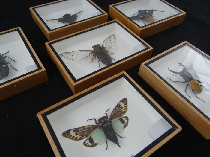 Set of fine display cases with a variety of Exotic Asian Insects - 12.5 x 15cm  (6)