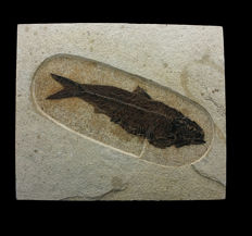 Fossil fish - Knigthia alta - 19,2 x4,7 cms..Spectacular size and quality.