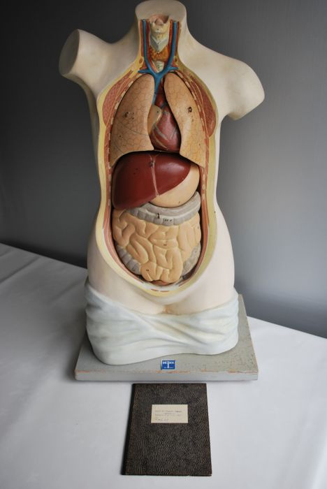 Very old anatomical torso made by Depex de Bilt and an old fold-out book of the human body