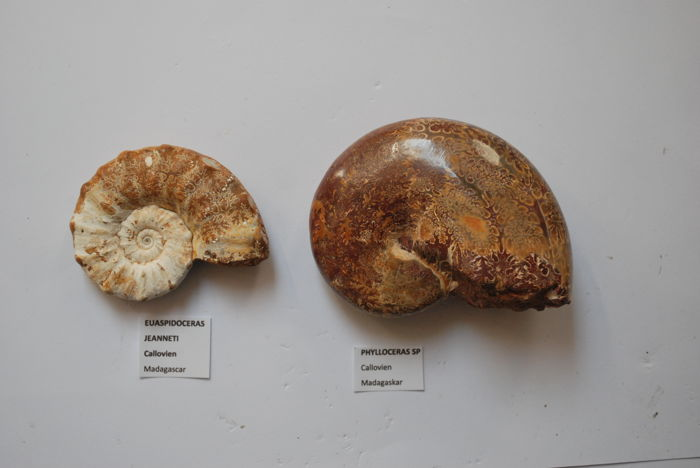 Two beautiful ammonites. Euaspidoceras jeanetti - 65 x 52 x 17 mm and Phylloceras sp. - 90 x 70 x 32 mm