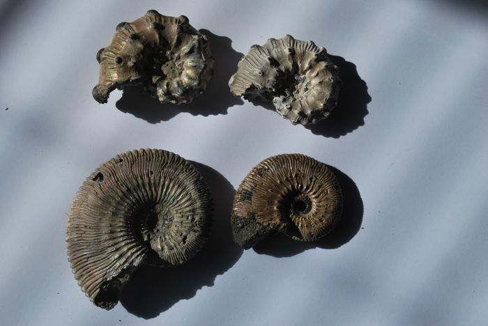 Four ammonites from Russia. Kosmoceras spp. - 42–61 mm (4)