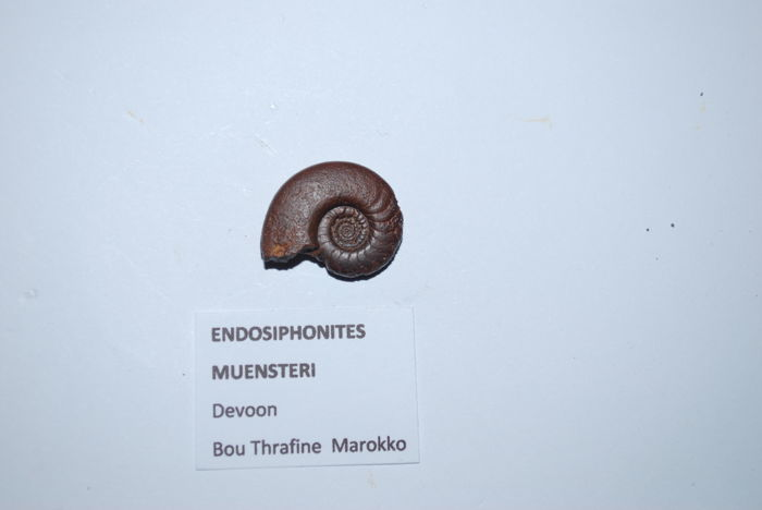 Ammonites. A collection of Devonian and Carboniferous ammonites - 17 – 45 mm (13)