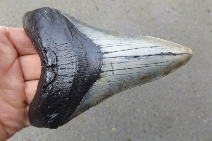Large tooth of a Carcharocles megalodon - 13.4 cm