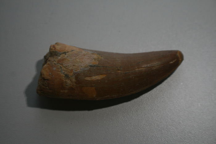 Large tooth of a Carcharodontosaurus Saharicus - 75 mm