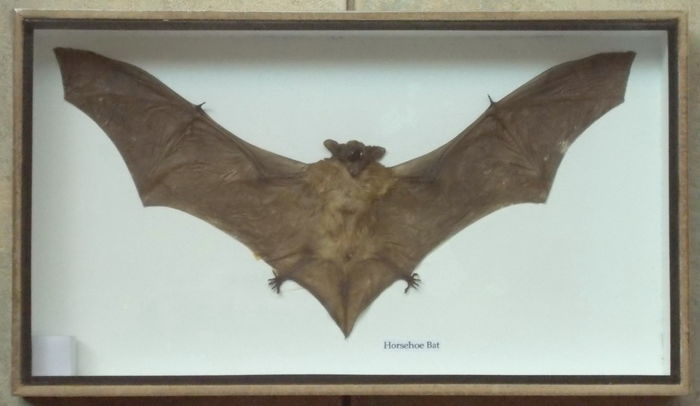 Smaller Horseshoe Bat, set in natural wall-hung display case - , Rhinolophus megaphyllus - 35 x 20cm