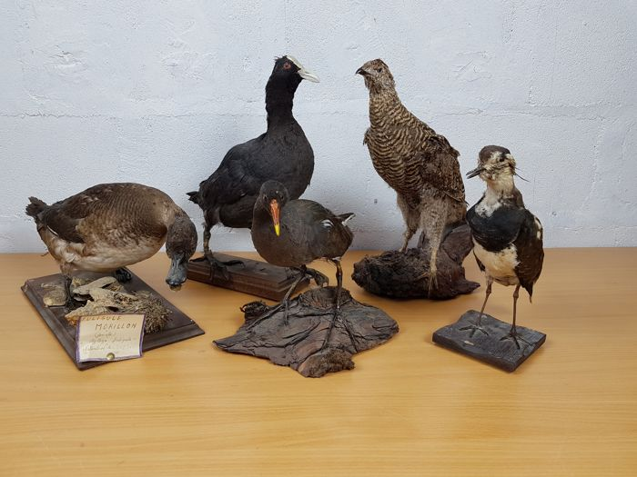Collection of vintage French bird taxidermy - various - assorted sizes  (5)