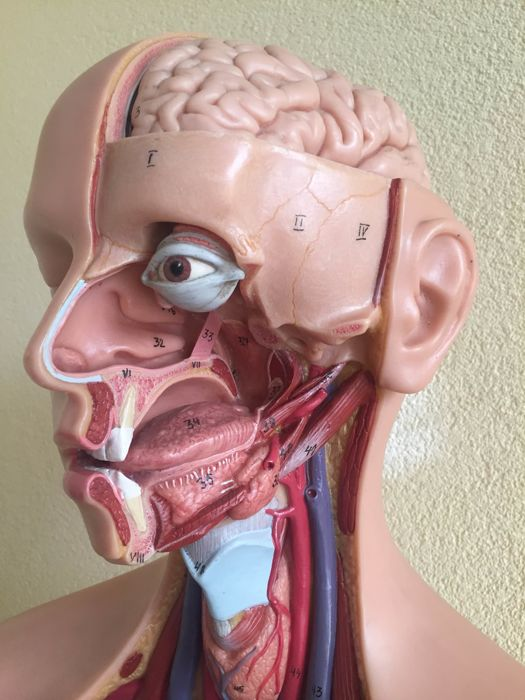 Somso Anatomical Model Torso With Head As21 Catawiki