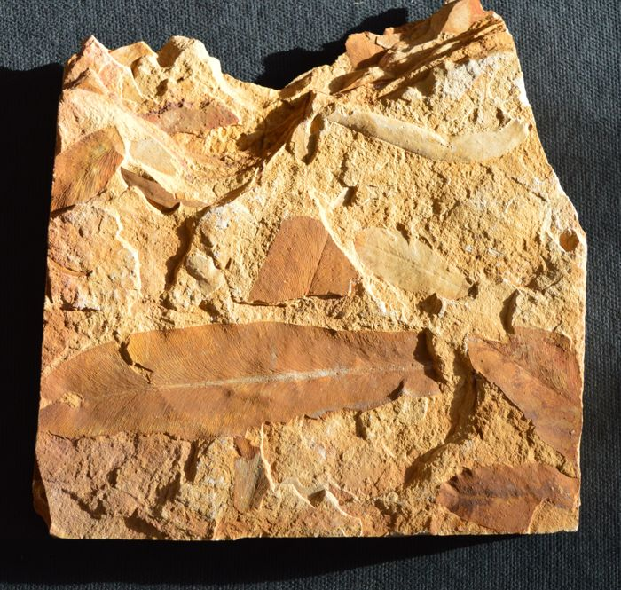 Glossopteris browniana fossil leaves - 18 cm