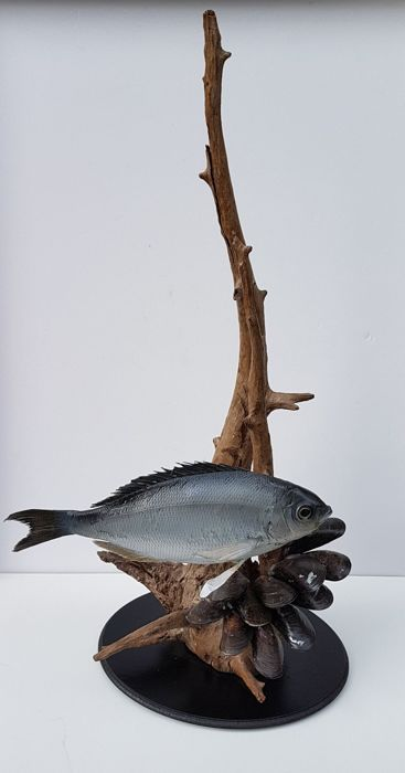 Finely presented Gilt-head Bream with Mussels - Sparus aurata - 54 x 27 x 15cm