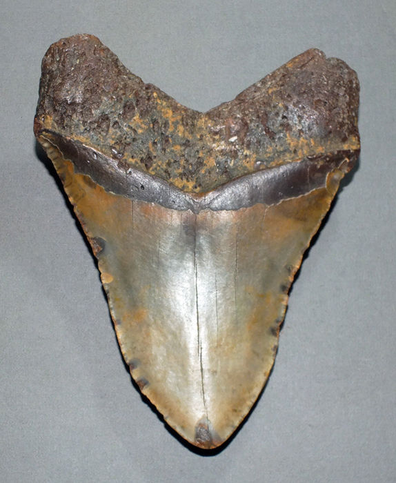 Very large fossil shark tooth - Carcharocles Megalodon - 15,4 cm