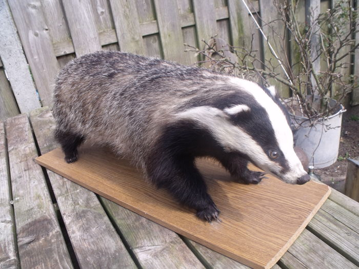 Taxidermy - Badger - Meles meles - 100 x 35 cm
