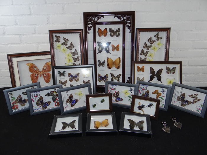 Large collection of various frames with Asian Butterflies, with minor damage - (19)