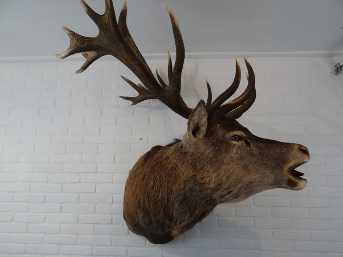 First class taxidermy -  Capital Royal Red Deer Stag shoulder-mount, with fine detailed  open mouth - Cervus elaphus - 105 x 90 x 120cm