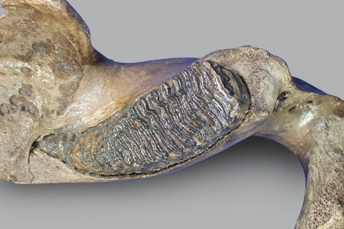 Woolly Mammoth Mandible Section with M3 Molar - Mammuthus primigenius - 63.5 cm