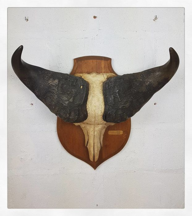 Fine African Cape Buffalo Trophy on carved, labelled shield - Syncerus caffer - 65 x 57cm