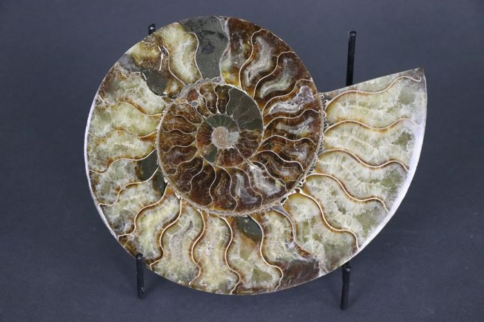 Sliced Ammonite - Aioloceras sp. - 19 cm