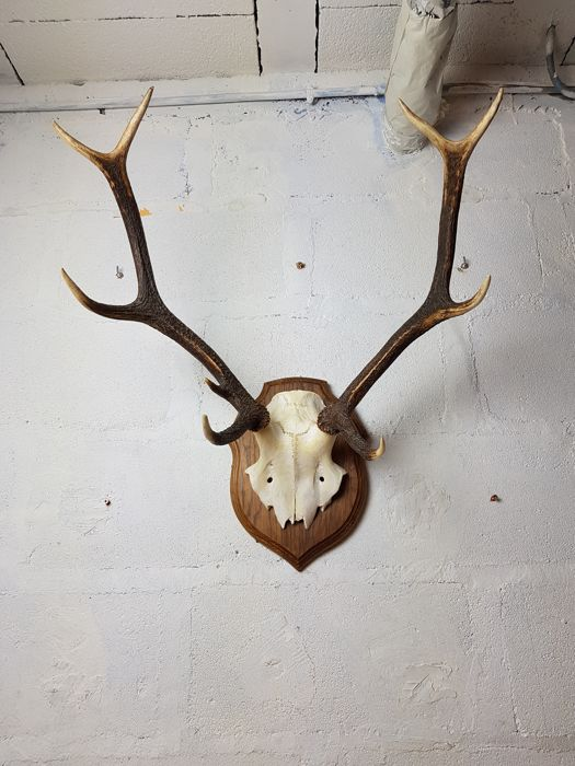 Fine Red Deer Trophy on shield - Cervus elaphus  - 58 x 50 x 40 cm