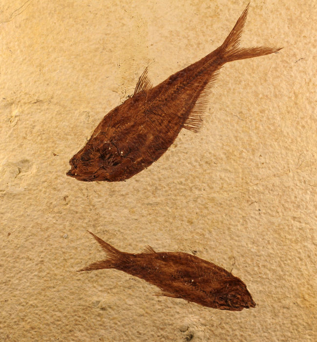 Fossilised fishes in matrix - Knightia eocaena - 21.5 x 18 cm