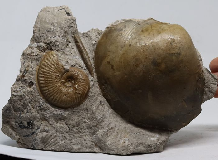 Natural association of an ammonite + shell + Belemnite - Haugia variabilis (d'Orbigny) with Plagiostoma gigantea (Boehm)  - 21 x 14 cm - 1.2 kg