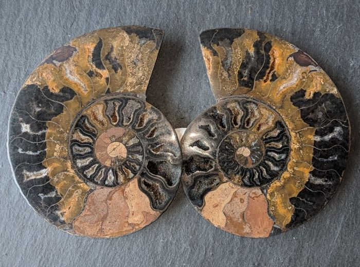 Cut and polished ammonite Aioloceras sp. - 119 / 116 mm - 287 g (2)